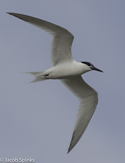 Sandwich Tern-0004 (Wildlife Boy1) Tags: nature birds nikon wildlife jacob norfolk spinks 2016 nikonlens wildlifephotography nikond7100