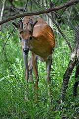 Young Buck (ms smartipants) Tags: park summer nature deer buck whitetail whitetaileddeer huronclintonmetroparks lakeeriemetropark