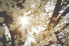 dogwoods (NatalieShockleePhotography) Tags: flowers sun sunlight white flower tree beautiful colorful day dogwood sunflare