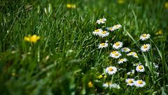spring calling wp (2560x1440) (Igor Klajo) Tags: canonef70200mmf4lusm canoneos400d igorklajo spring yellow flower green nature croatia baranja povjerenstvo