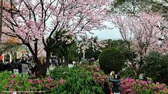 2012 天元宮櫻花祭