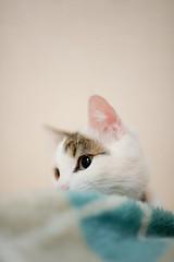 Lots of Lou (Nazra Zahri) Tags: white male home japan wall night cat 50mm bed bedroom nikon kitten raw tabby pillow indoors sleepy blanket munchkin resting nikkor fleece lying okayama 2012 50mmf14d d700