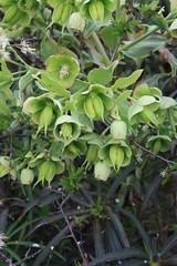 Euphorbia sp. (Christophe Ramonet) Tags: euphorbia solutre euphorbe euphorb solutrepouilly