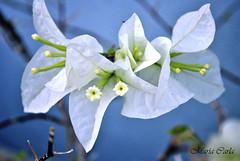 Trinitaria Blanca (_MariaCarla_) Tags: barcelona flowers naturaleza flower nature nikon venezuela flor bougainvillea santarita veranera buganvilia buganvilla lecheria bugambilia trinitaria napoleón camelina nikond3000