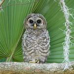 Barred Owl juvenile / young / fledgling / owlet / baby (Strix varia)
