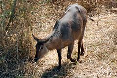 Victoria Falls_2012 05 24_1674 (HBarrison) Tags: africa hbarrison harveybarrison tauck victoriafalls zimbabwe zambeziriver mosioatunya waterbuck taxonomy:binomial=kobusellipsiprymnus