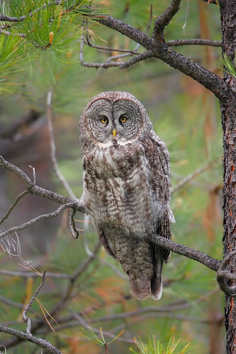 Great Gray Owl!