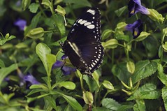 Butterfly (christinedeleon) Tags: road city flowers plants nature butterfly insect lens 50mm nikon focus university day zoom philippines photograph diliman quezon d5000