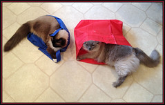 Ragdoll Lounge (Photographic Poetry) Tags: pet cat feline bella bags recycle mitzi ragdoll familypet