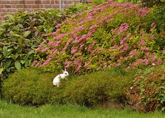 Konijn zoekt veilig heenkomen (andzwe) Tags: copyright  panasonic fz fz50 paniek panasonicdmcfz50 panasoniclumixdmcfz50 andzwe andzwe eenkonijninhetnauwmaaktookraresprongen rabbitinthebushes konijninstruik veiligheenkomenzoeken