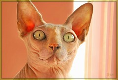 SKYE (mutter2009 *OFF*) Tags: skye coth nakedcats nikond60 sphynxcats hairlesscats kittysuperstar blueandcream bestofcats kittyschoice catmom