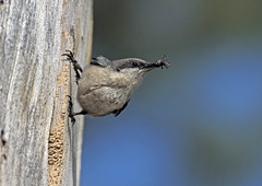 Pygmy Nuthatch (Ron Wolf (...detests this new design...)) Tags: california bird nature nest feeding wildlife sierra nesting pygmynuthatch tahoenationalforest sittapygmaea sittidae slbnesting