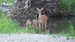Iowa Whitetail Deer - Two Fawns (gene5335) Tags: park camera baby nature outdoors video midwest wildlife doe iowa deer fawn whitetail 2012 desmoines odocoileusvirginianus