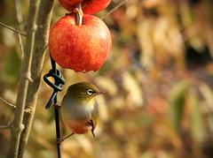 Wax Eye and Apple (AllisonwonderlandNZ) Tags: newzealand bird apple feeding bokeh feathers birdwatching silvereye whiteeye waxeye birdonawire zosteropslateralis