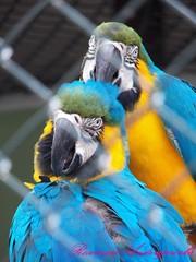 Casal de Araras no maior love.... (filipimatica) Tags: pássaros araras azuis tropicais