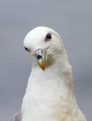 Curious Fulmar - Shetland (Fulmarus glacialis) 9284 - Explored 12/7/12 (Highland Andy (Andy Howard)) Tags: cute scotland flying flight fulmar seabird fulmarusglacialis fbdg mainlandshetland highlandnatureimages
