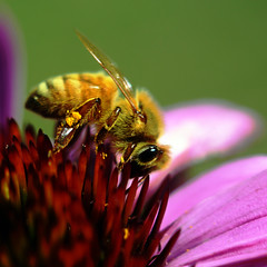 Bee Friday at Last (karen and mc) Tags: summer macro bee coneflower gardenisland karenandmc beefridayatlast