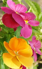 Pansy Passion (bigbrowneyez) Tags: pink flowers orange nature beautiful golden petals soft pretty dof sweet bokeh rich delicious passion colourful delicate pansies delightful peachy myfrontgarden rememberthatmomentlevel1 pansypassion