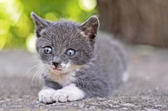 Bimbilo (Luccistar) Tags: blue light boy pets white black game cute beautiful animals cat dark grey eyes kitten gorgeous adorable cutie catus felines felis bicolor bimbilo