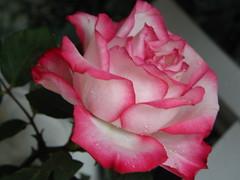 Rosa Beauty for Marina, happy Birthday to you ! (swetlanahasenjger) Tags: supershot mixedflowers masterphotos takenwithlove lovelyflickr thegoldenachievemen