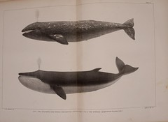 n38_w1150 (BioDivLibrary) Tags: dolphins whales whaling sealing marinemammals smithsonianinstitutionlibraries cetacea northwestcoastofnorthamerica bhl:page=16226089 dc:identifier=httpbiodiversitylibraryorgpage16226089