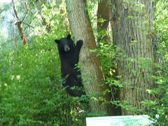 bear (jimmypk218) Tags: bear animal mammal