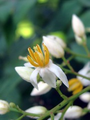 Heavenly bamboo flowers (Ruth and Dave) Tags: white flower yellow closeup centre nandinadomestica heavenlybamboo