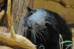 Binturong im Zoo Rostock (Ulli J.) Tags: germany deutschland zoo allemagne rostock binturong asianbearcat mecklenburgvorpommern palawanbearcat marderbr
