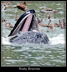 Daredevil Pelican and Drooling Anchovies (Steve Corey) Tags: bay harbor escape cove anchovies mammoth whale avilabeach baleen humbackwhale oceanmammal hugemammal 50tonmammal massivekiller