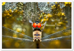 Dragonfly (TOONMAN_blchin) Tags: dragonflies dragonfly toonman mygearandme mygearandmepremium mygearandmebronze mygearandmesilver mygearandmegold unlimitedinsectslevel1 unlimitedinsectslevel2 unlimitedinsectslevel3