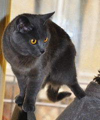 Douce,on the backs of Daddy   (erikomoket) Tags: blue portrait pet cats pets paris france yellow cat portraits gris chats nikon chat gray  cha douce chatte  chartreux chattes    d3200 d5000 erikomoket  vg~catsgallery