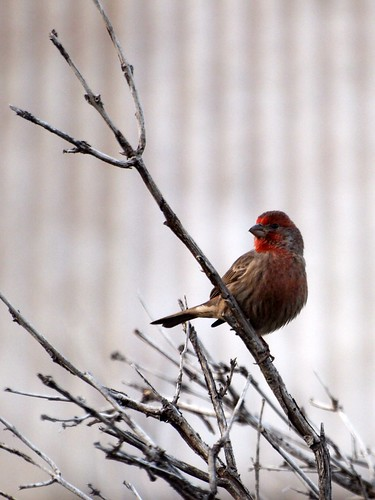 """House Finch • <a style=""""font-size:0.8em;"""" href=""""http://www.flickr.com/photos/59465790@N04/8156862465/"""" target=""""_blank"""">View on Flickr</a>"""