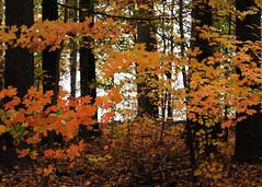 (EJMphoto) Tags: autumn trees fall woods pennsylvania longwoodgardens
