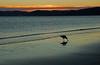 Bird having dinner on beach (Flimin) Tags: sunset newzealand bird beach canon wellington petone gamewinner 650d challengeyouwinner eos650d thechallengefactory agcgwinner herowinner mygearandme mygearandmepremium mygearandmebronze pregamewinner rebelt4i