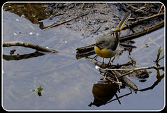 Grey Wagtail 030516 (trevorcridlan) Tags: nature water birds countryside nikon outdoor wildlife oxfordshire songbird wagtail thame wildbirds d5200 greywagtails tamron16300