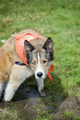 Wilma A190452 (4) (Ottawa Humane Society) Tags: dog dogs animal outside photography spring mix husky outdoor shepherd ottawa german ottawahumanesociety animalshelterphotography