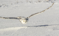 Snowy Owl in flight - Explore (Kevin Povenz) Tags: white snow cold bird nature up weather fly wings eyes day bright outdoor michigan wildlife flight wing january upnorth upperpeninsula birdsofprey yelloweyes saultstemarie snowyowl glide 2016 sigma150500 canon7dmarkii kevinpovenz