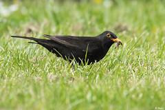 Merle noir (fbarz) Tags: france bird 33 turdusmerula oiseau gironde commonblackbird merlenoir passriformes turdids