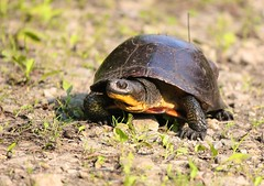 Blanding's patrolling (travisl4) Tags: detail eye texture yellow radio turtle path reptile shell dirt claw throat transmitter carapace