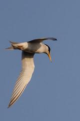 Tern Hunting (Don Burkett) Tags: nature birds animal fauna canon florida outdoor wildlife southflorida dlsr wakodahatcheewetlands donburkett canon7dmkii 100400mii ef100400f4556liiusm dtburkett