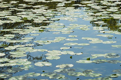 Water Lillies (rexlindis) Tags: england landscape battle lillypad waterlillies eastsussex
