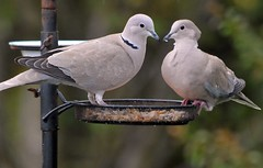 DSC_3327 Collared Doves Taken through the Caravan Window  and the one on the right has big wound other side of Neck (John Carson Essex) Tags: thegalaxy supersix rainbowofnature thegalaxystars