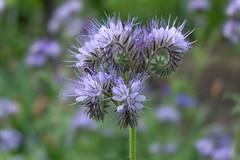 If I'd be a bee (Goruna) Tags: plant flower field garden landscape outdoor paleblue phacelia lightblue beeplant lacyphacelia beefriend