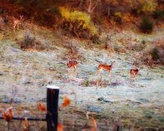 Frosty Deer (John D. Stocker) Tags: morning autumn cold southwest fall nature field minnesota animal fence john mammal four photography spur still cool woods frost painted wildlife country frosty deer pasture mn bluff cautious stocker wwwpaintedspurphotographycom paintedspur