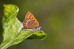 Blauwe vuurvlinder (Anita van Rennes) Tags: butterfly violet copper blauwe vlinder helle lycaena vuurvlinder