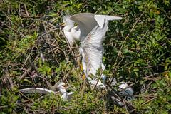 Snowy Egret (jcfa_photography) Tags: florida nesting egrets