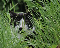 l'embusqu (doubichlou) Tags: chat cat gato animal mammifere felin nature yonne bourgogne burgundy france world cats forever