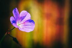 Geranium (MacBeales) Tags: canon eos 350d purple bokeh filter nik geranium