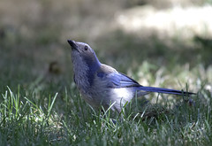 Scub Jay (dcnelson1898) Tags: california blue bird grass zoom scrubjay avian elkgrove