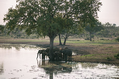 Meeting on the water hole (knipslog.de) Tags: africa southafrica wildlife urlaub safari elephants waterhole sdafrika krugernationalpark bigfive big5 suedafrika krgernationalpark